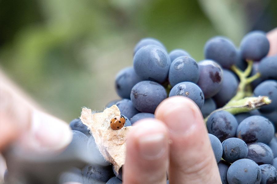 Mains avec raisins et coccinelle Beurton & Fils