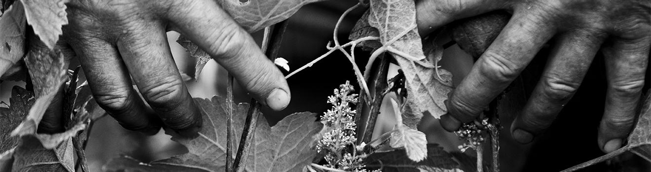 Mains dans les vignes de Beurton & Fils