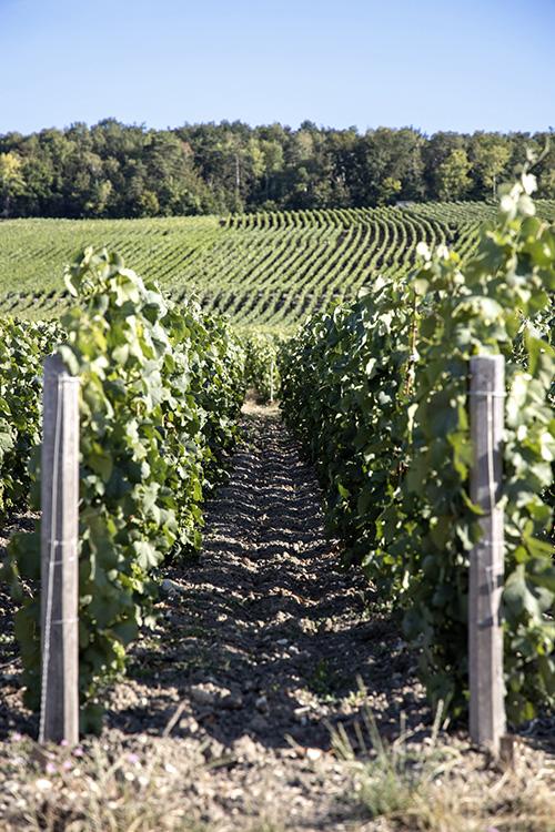 Rang de vignes avec ciel bleu Beurton & Fils