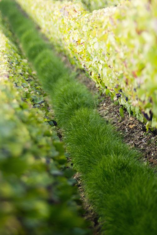 Rang de vignes avec herbe Beurton & Fils