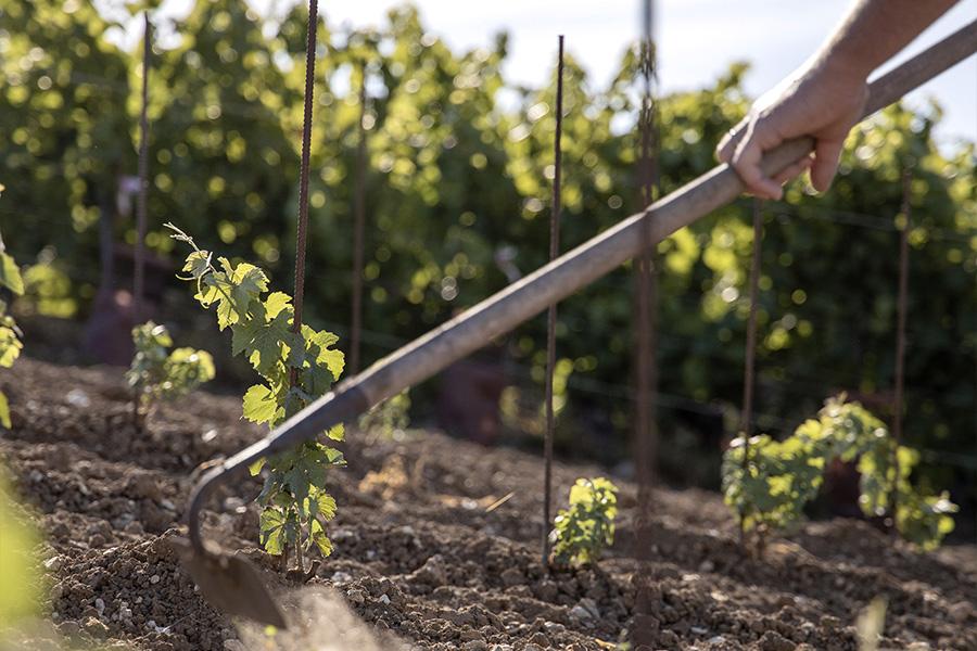 Travail de la terre des pieds de vignes Beurton & Fils