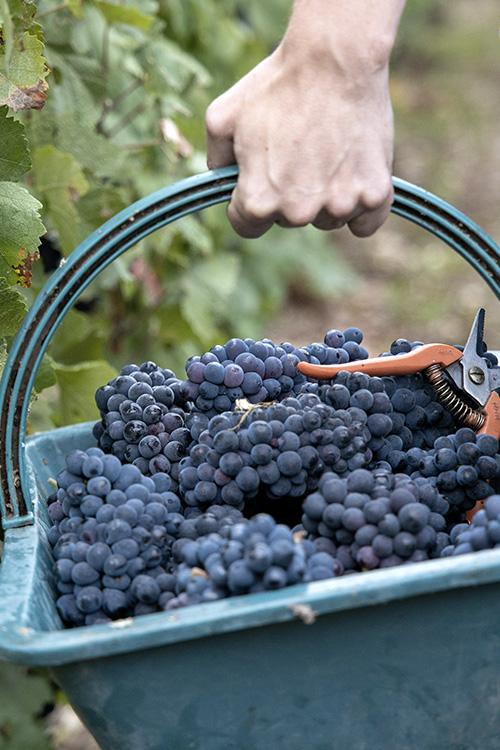 Panier de grappes de raisins pendant les vendanges Beurton & Fils
